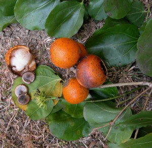 Te ładne owoce to kulczyba, z której pozyskuje się strychninę.